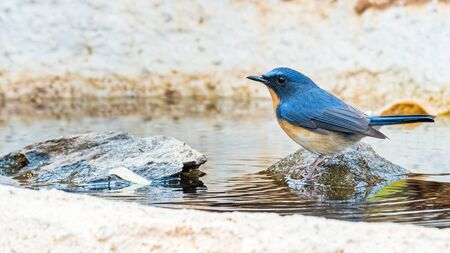 Hill Blue Flycatcher perching on a small rock looking into a distance Banco de Imagens