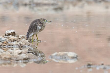 Indian Pond Heron standing near a pond 스톡 콘텐츠