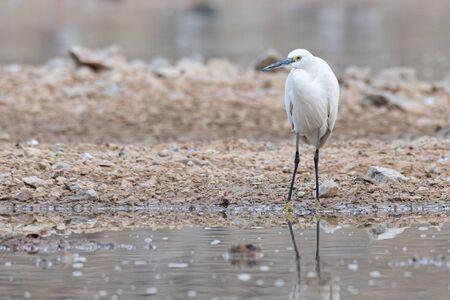 Little Egret standing near a pond