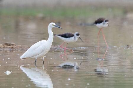 Little Egret wading in a pond with Black-winged Stilts