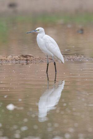 Little Egret wading in a pond