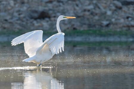 Great Egret spreading wings in a pond
