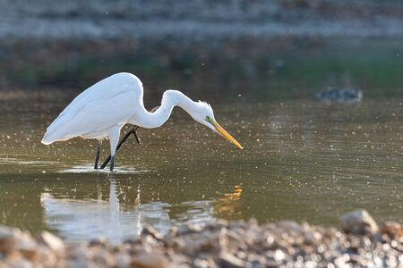 Great Egret scratching its neck