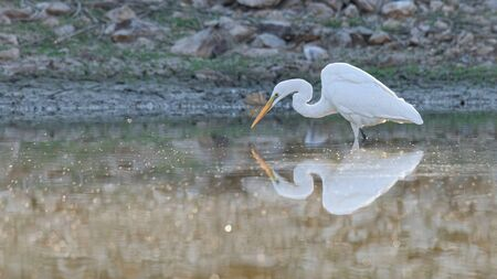 Great Egret standing in a pond Фото со стока