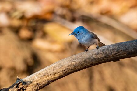 Cute female Black-naped Monarch perching on a perch looking into a distance