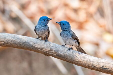 Two female Black-naped Monarch perching on a perch looking into a distance