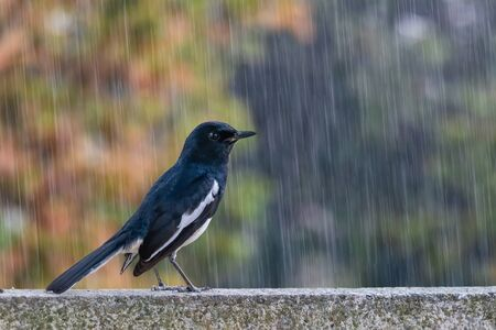 Oriental Magpie Robin caught in a heavy downpour rain