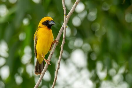 Male Asian Golden Weaver isolated perching on a branch