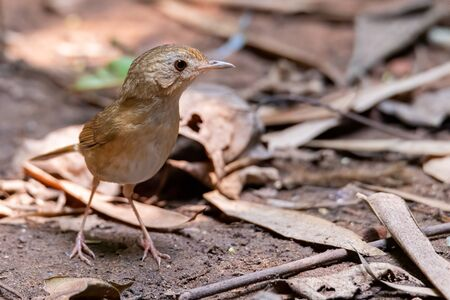 Buff-breasted Babbler  perching on a ground looking into a distance Stock Photo