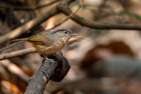 Black-browed Fulvetta perching on a perch looking into a distance