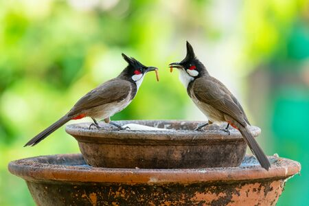 Two Red-whiskered Bulbuls with mealworms in the beaks looking at each other Stock Photo