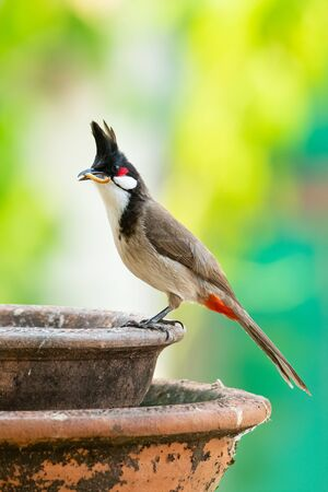 Red-whiskered Bulbul with mealworm in the beak perching on a clay bowl