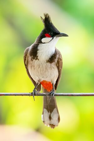 Red-whiskered Bulbul perching on a metal bar looking into a distance Stock Photo