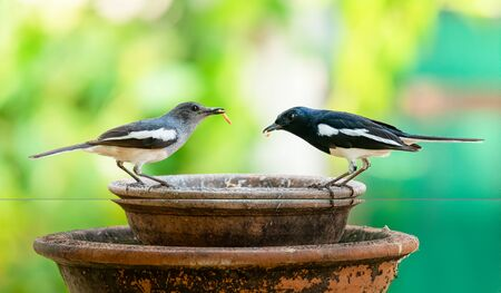 Male and female Oriental Magpie Robin with mealworms in the beaks perching on a clay bowl