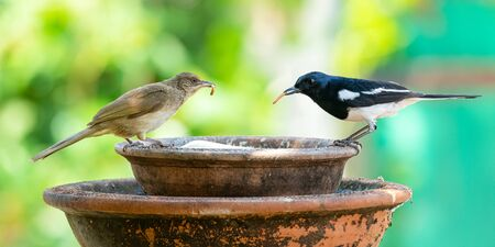 Oriental Magpie Robin and Streak-eared Bulbul with mealworms in the beaks perching on a clay bowl Stock Photo