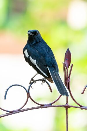Oriental Magpie Robin perching on a ornament fence  looking obliquely into a distance