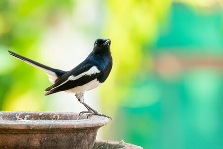 Oriental Magpie Robin perching on a clay bowl raising up its tail