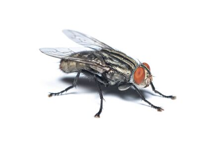 Oblique view of Housefly isolated on white background Stock Photo