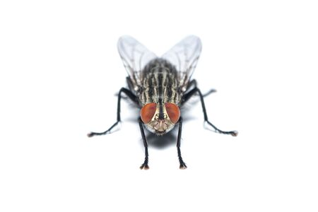 Front view of Housefly isolated on white background