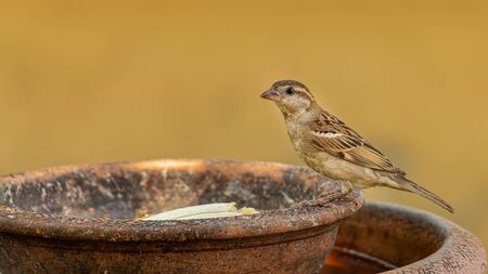 Female House Sparrow perching on round clay tray Stock Photo