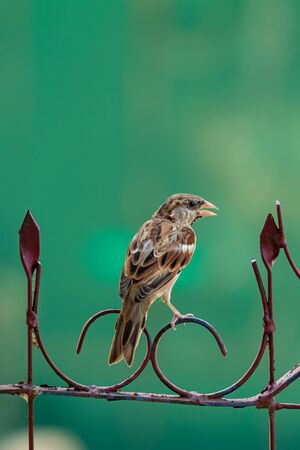 Young male House Sparrow perching on ornament fence