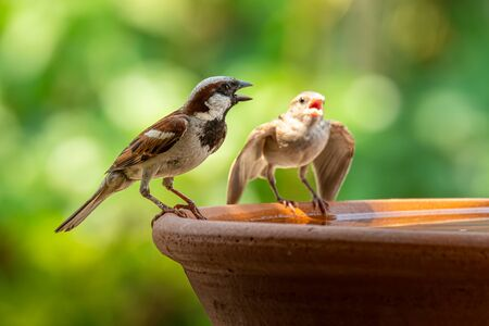 Male House Sparrow with his chick on round clay tray Stock Photo
