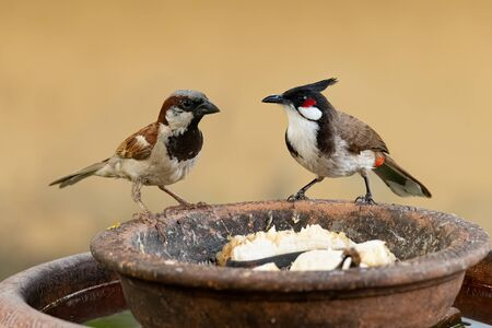 Red-whiskered Bulbul and House Sparrow perching on round clay tray