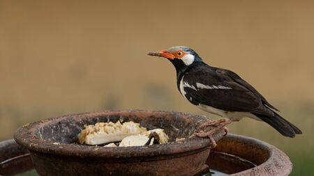 Young Asian Pied Starling perching on clay bowl Stock Photo