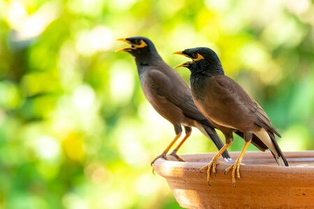 Common Myna perching on round clay tray Stock Photo