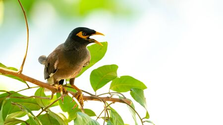 Common Myna perching on longan tree branch Stock Photo