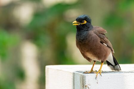 Common Myna perching on top of white cement pole
