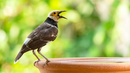 Black-collared Myna opening the beak on round clay tray of water Stock Photo