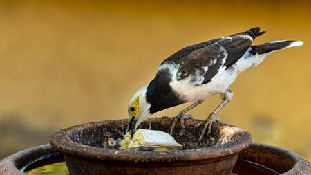 Black-collared Myna pecking a banana from round clay tray