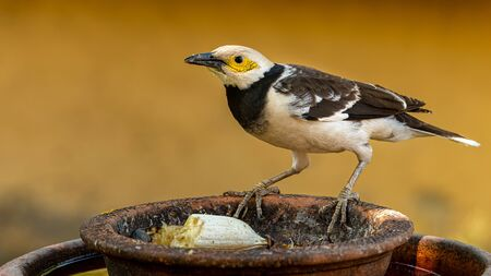 Black-collared Myna perching on round clay tray