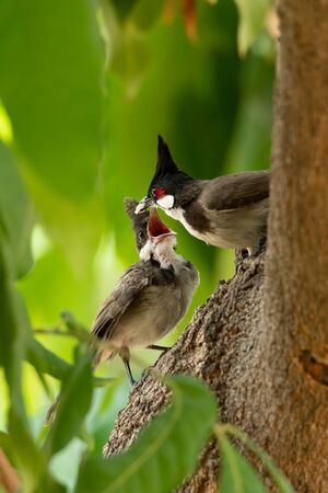 Red-whiskered bulbul feeding her chick on the tree Stock Photo