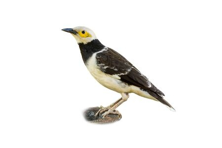 Black-collared Starling isolated on white background Stock Photo