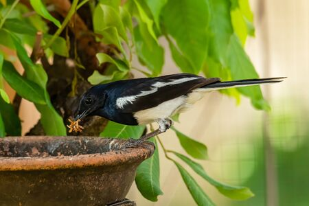 Male Oriental Magpie Robin with mealworms in his beak Stock Photo