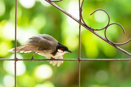 Red-whiskered bulbul dancing on ornament fence