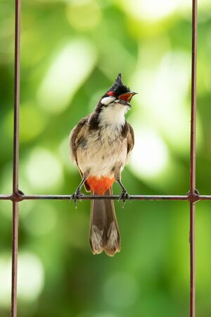 Red-whiskered bulbul singing on a fence