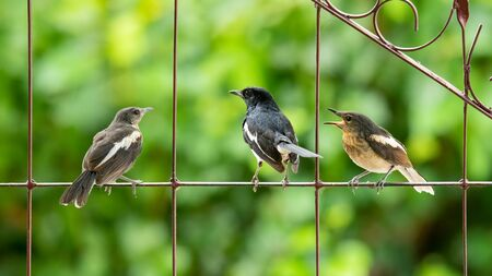 Male Oriental Magpie Robin with his two young chick Stock Photo