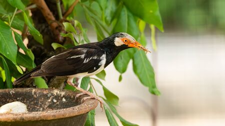 Asian Pied Myna with mealworm in its beak Stock Photo