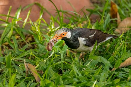 Asian Pied Myna with earthworm in its beak Stock Photo