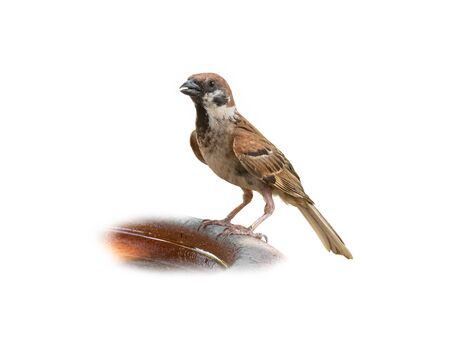 Eurasian Tree Sparrow isolated on white background