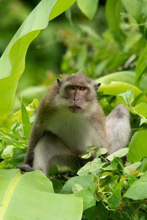 Young male Crab-eating macaque climbing banana tree looking at the camera