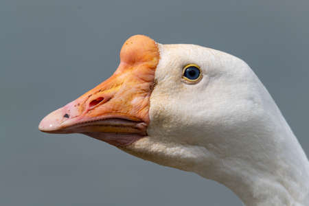 Close-up picture of White Chinese Goose with grey background