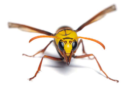 Macro photography of Potter wasp front view isolated on white background Stock Photo