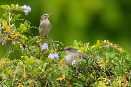 Booted Warbler and Streak-eared Bulbul perching on a tree looking into a distance