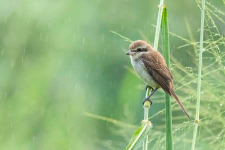 Brown Shrike perching on grass stem looking into a distance