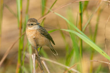 Pied Bushchat perching on dried grass stem looking into a distance