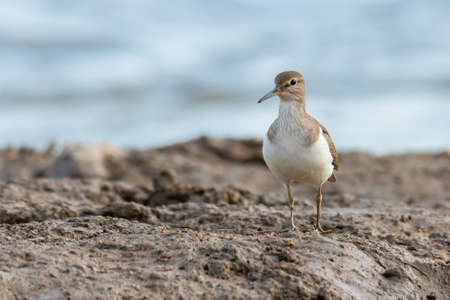 Common Sandpiper standing on muddy ground looking into a distance